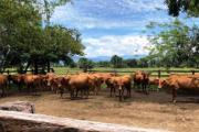 Buscan 360 ganaderos de Caquetá para mejorar características productivas de ganado