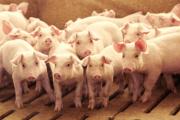 Agro de Caquetá se recupera gracias a venta de cerdos y gallinas por internet