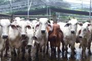 Exportaciones de ganado afectarían consumo de carne en Caquetá por escasez
